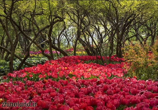 جشنواره لاله های باغ ایرانی