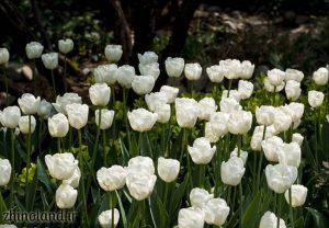 پارک باغ ایرانی ده ونک و لاله ها