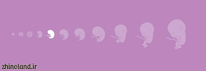هفته پنجم بارداری اندازه جنین